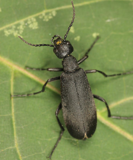 Black Blister Beetle - Epicauta pennsylvanica