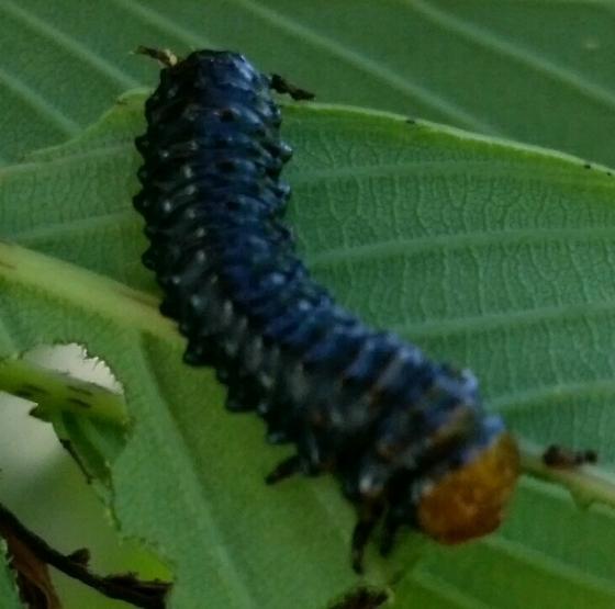 Larva - Coraia subcyanescens
