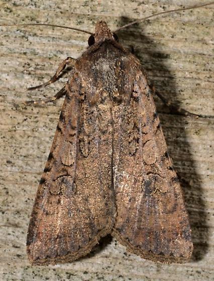 02may2012-moth1 - Peridroma saucia - male