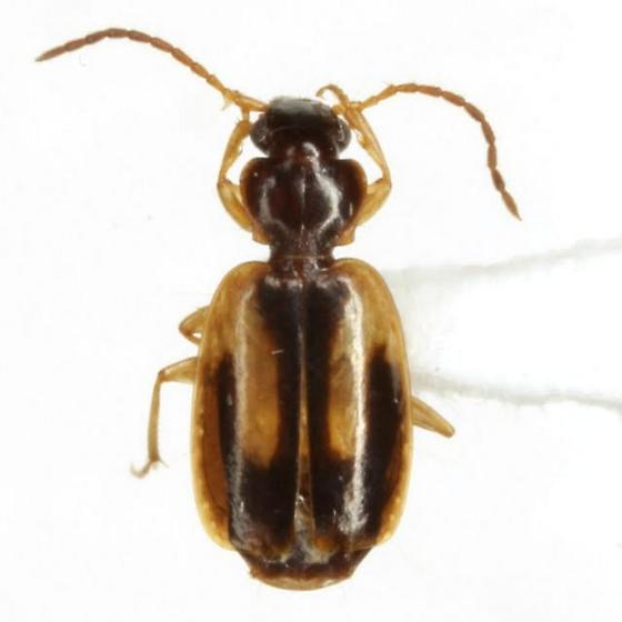 Axinopalpus biplagiatus (Dejean) - Axinopalpus biplagiatus