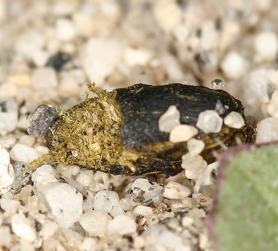black darkling beetle food - Eleodes armata