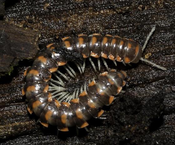 Colorful millipede - Auturus evides