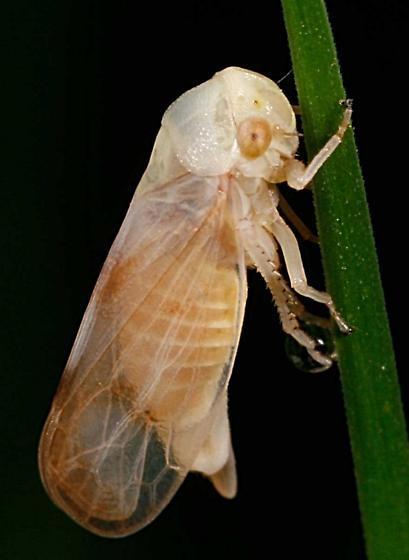 Oncopsis citra - female