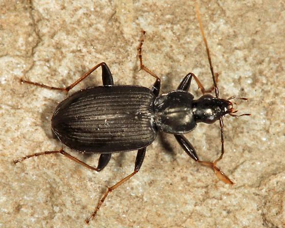 Carabid - Agonum albicrus