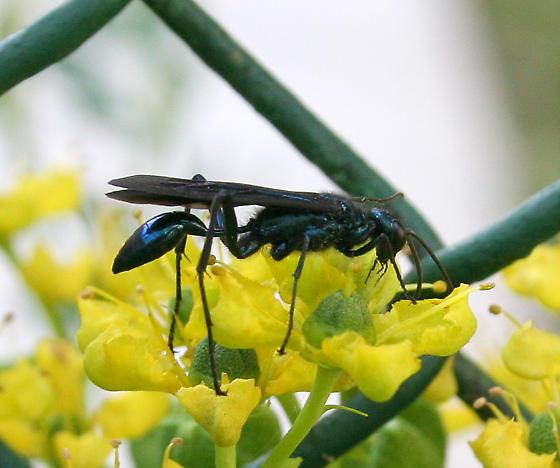 Which wasp, please? - Chalybion californicum