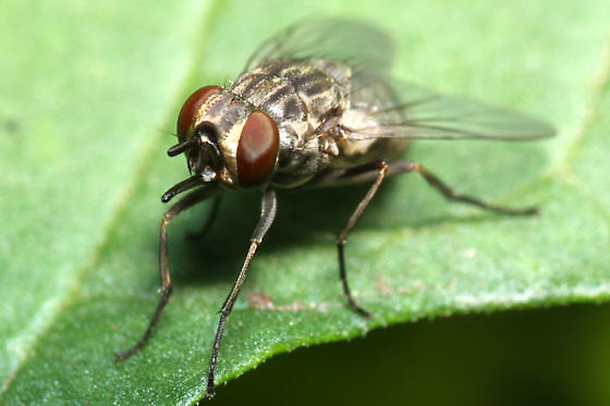 fly - Stomoxys calcitrans