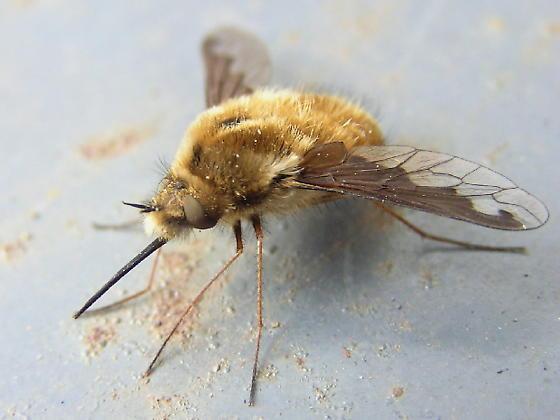 Bombylius atriceps? - Bombylius major - female