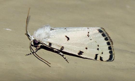 White moth - Grotella