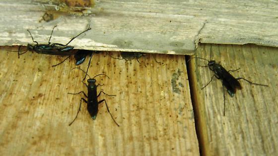 Blue mud dauber wasps - Chalybion californicum