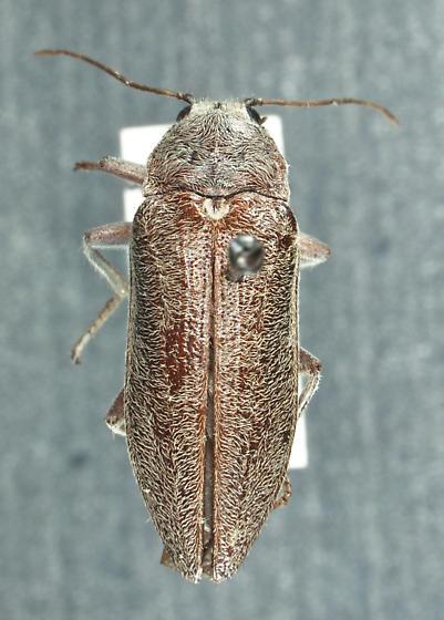 Stenocolus scutellaris LeConte, 1853 - Stenocolus scutellaris - male