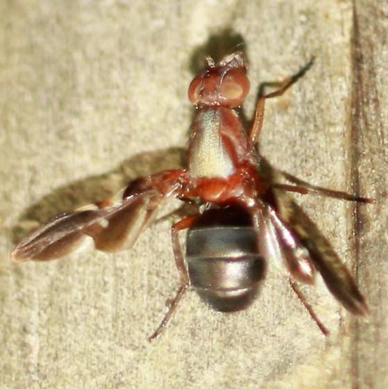 Delphinia Picture-winged Fly - Dorsal - Delphinia picta