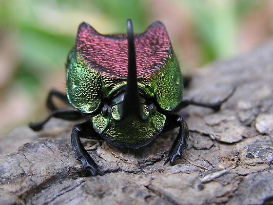 Phanaeus difformis - male