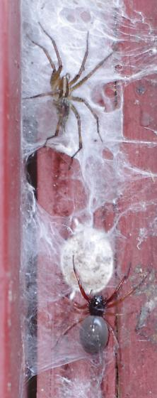 Two spiders in very close proximity - Trachelas tranquillus