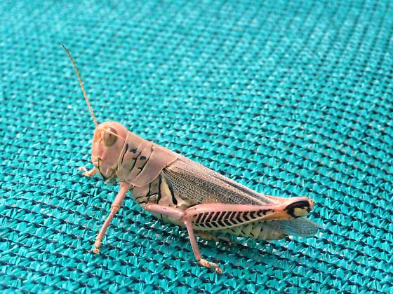 Acrididae - unknown genus and species - Melanoplus differentialis - female