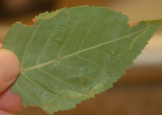Seattle leaf miner on Betula SW1 2016 1 - Lyonetia prunifoliella