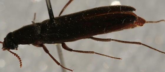 not a darkling beetle