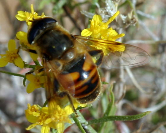 Hover fly -- flower fly -- or, Eristalis sp ? - Eristalis tenax - female