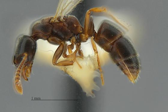 Hypoponera - female