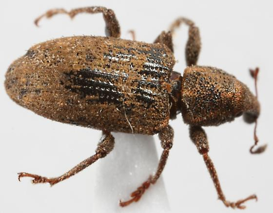 small weevil of some sort. - Listronotus debilis