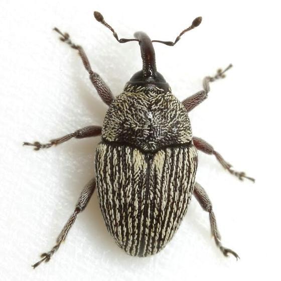 Geraeus modestus (Boheman) - Geraeus modestus