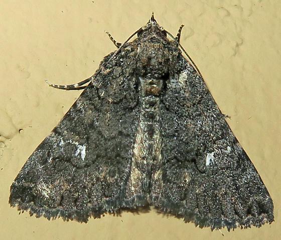 Unidentified Moth - Toxonprucha crudelis