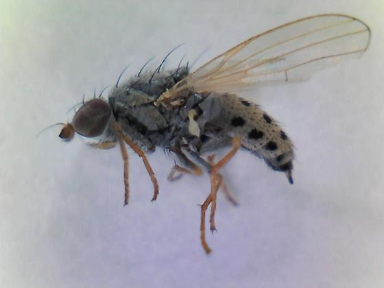 Collected in little bluestem Bug Three