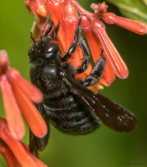 Western Carpenter Bee? - Xylocopa mexicanorum - male