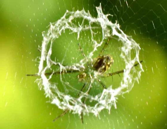 Orbweaver Spider - Mangora gibberosa