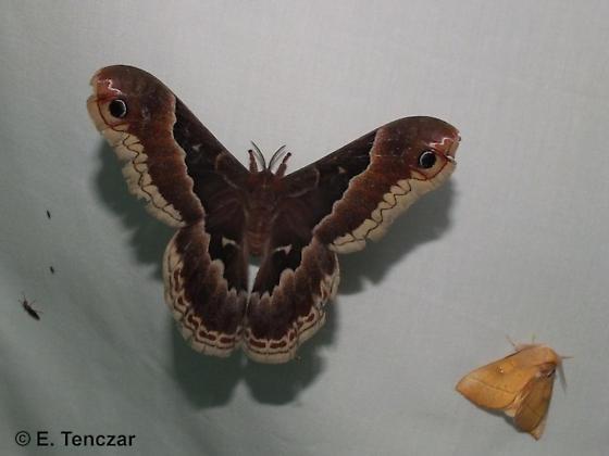 Callosamia (large moth) and small friend - Callosamia promethea