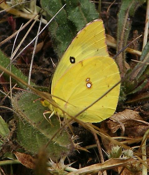 sulpher butterfly - Zerene cesonia - male