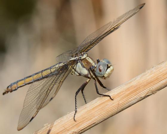 Female Comanche Skimmer?? - Libellula comanche - female