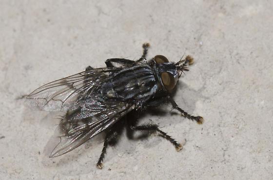 Flesh Fly