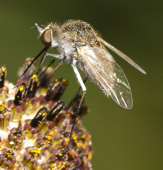 Bee fly on Ratibida - Geron