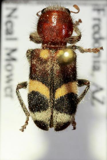 Small Clerid beetle - Enoclerus laetus
