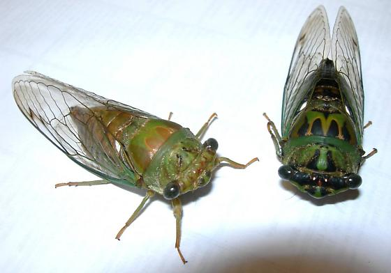 Tibicen winnemanna (aberration) - Neotibicen winnemanna - male