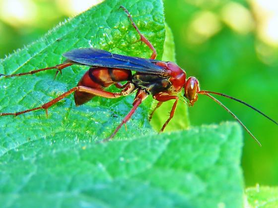 Id help needed - wasp - Tachypompilus ferrugineus