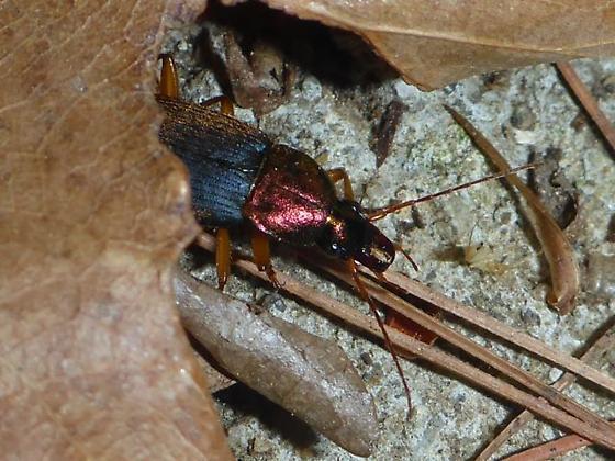 Red-headed ground beetle - Chlaenius emarginatus