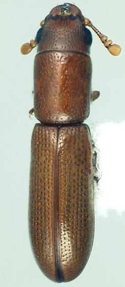 Euschaefferia hicoriae (Schaeffer) - Euschaefferia hicoriae