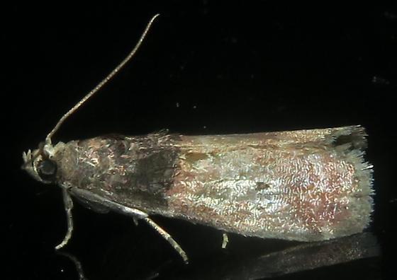Acrobasis aurorella