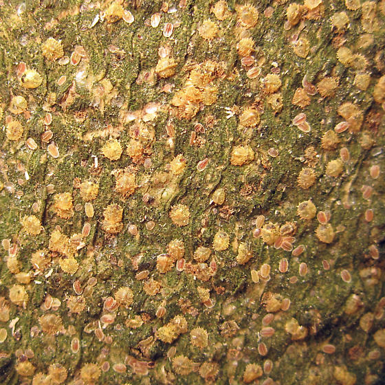 Holly trees dying - Bark is covered with these