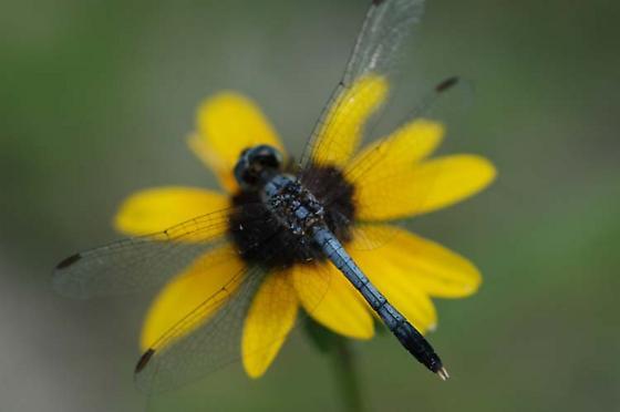 Little Blue Dragonlet - Erythrodiplax minuscula