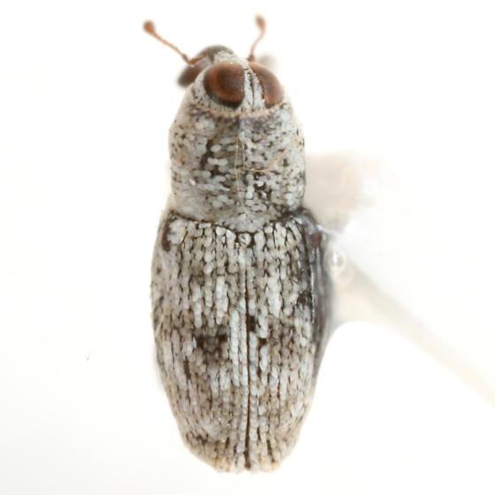 Cylindrocopturus adspersus (LeConte) - Cylindrocopturus nanulus
