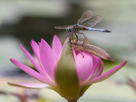 What is this dragonfly doing? - Pachydiplax longipennis