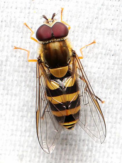Syrphid - Syrphus ribesii