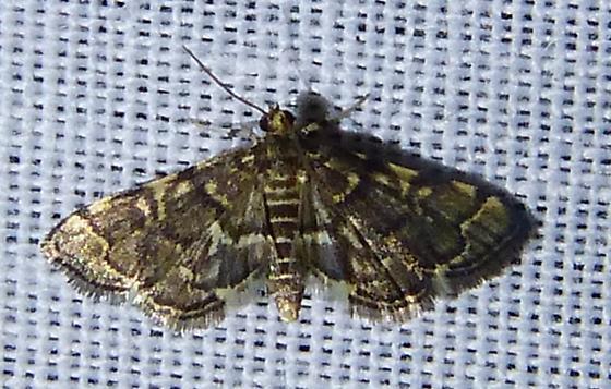 Anageshna primordialis– Yellow-spotted Webworm Moth - Anageshna primordialis