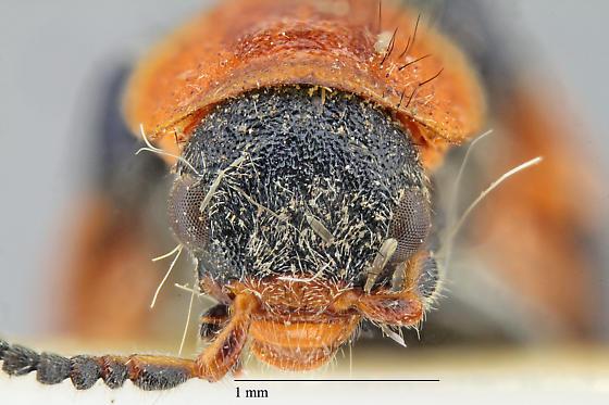 Malachiinae - Collops