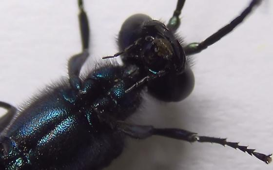 Sexing a Blue Mud Wasp (Mandibles) - Chalybion californicum - male