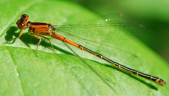 What kind of damselfly? - Ischnura verticalis