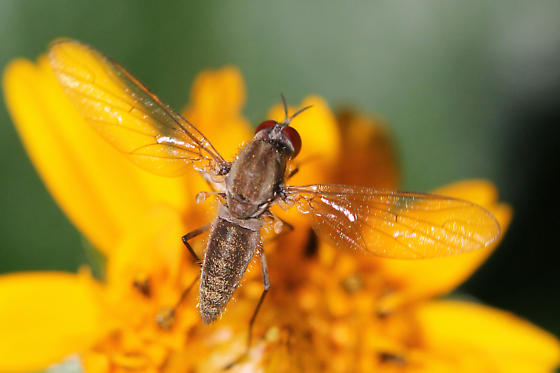 Which Bee Fly is this? - Geron