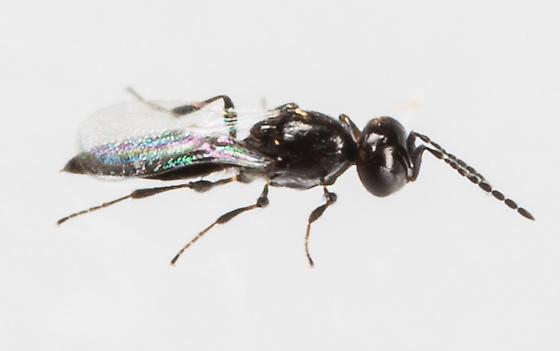 Wasp - Platygaster - female